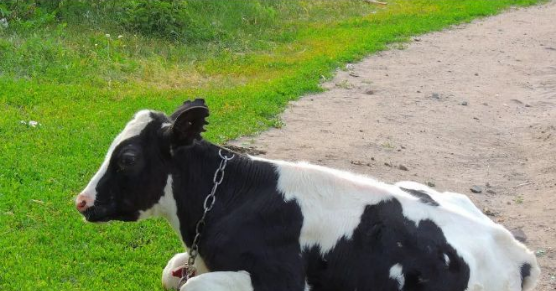 大奶牛bt_奶牛夏季热应激原来危害这么严重!